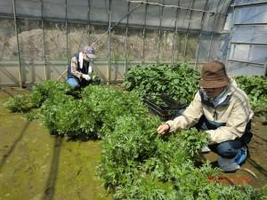 昨年暮れに収穫し残した春菊や小松菜(菜花)を摘む