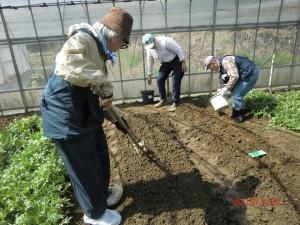 10センチほどの高さの畝を手作り。その上に播種する
