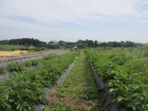 左が里芋(マルチに穴を開けて、里芋の芽を出した)と、右が生育中のジャガイモ